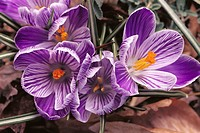 Dutch Crocus (Crocus vernus ´Striped Beauty´)