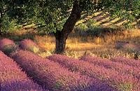 Walnut Tree in Lavender field, Provence Alpes Cote d´Azur, Provence, France