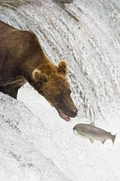 Adult Grizzly Bear misses a Salmon at Brooks Falls, Alaska, USA