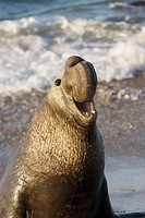 Bull Elephant Seal bellows for dominance on San Simeon Beach  California, USA