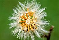 Detail of flower (fam. Asteraceae)