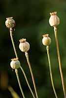 Five Poppy Seedheads. Papaver rhoeas. July 2007, Maryland, USA