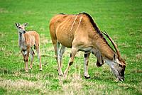 Cape eland (Taurotragus oryx), mother and young