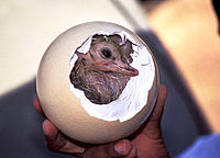 Baby ostrich (Struthio camelus) still in the egg shell