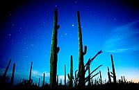 The Sonoran Desert glows by the light of the full moon at Saguaro National Park West near Tucson, Arizona, USA