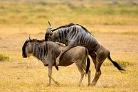 Blue wildebeest gnu mating, Amboseli National Park, Kenya