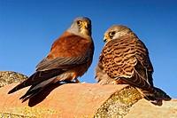 Couple of Lesser Kestrel (Falco naumanni). Aragon, Spain