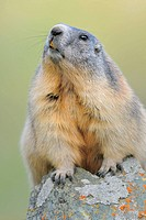 Alpine Marmot (Marmota marmota). Großglockner, Austrian Alps.