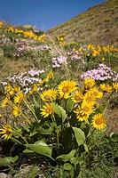 Carey´s Balsamroot & Showy Phlox on rocky hillside