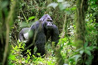 Silverback eastern lowland gorilla in the equatorial forest of Kahuzi Biega Park (Gorilla beringei graueri) Democratic  Republic of Congo, Africa