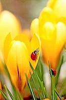 Ladybird beetles on crocus  Coccinella septempunctata  A pair of Seven spot Ladybird beetles explore the denizens of crocus in a spring garden  One is...