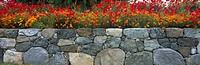 Poppies along Stone Wall: Var:- Flanders Field Poppy (Papaver Rhoeas) and California Poppy (Eschscholzia Californica):   Anacortes, Skagit County, Was...