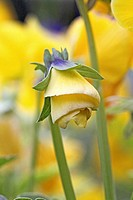 Yellow pansy bud unfolding  Unfolding in a spiral a yellow pansy hangs like a miniature art deco lamp  Blurred background of yellow pansies in a publi...