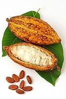 Cocoa fruit still life (Theobroma cacao)