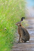 European brown hare in summer, Germany