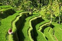 Rice terraces near Tegallalang village, Bali, Indonesia