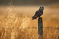 Short-eared owl Asio flammeus perched on old post in late evening light  Scotland  October 2009