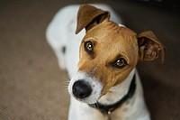 Pedigreed Smooth Coat Jack Russell Terrier  PR0903