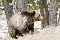 A very large adult male grizzly hunts for Whitebark pine nuts after an autumn snowfall in Yellowstone Park