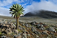 giant Lobelia on the Sanetti Plateau, Bale Mountains National Park, Oromia, Ethiopia, Africa