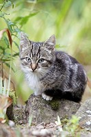 Cat, young grey striped kitten in garden