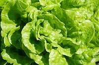 Close up of garden lettuce, green background texture