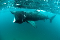 Basking shark, Cetorhinus maximus, grows to between 6 and 8 metres long and is the world´s second largest shark after the whale shark  It is a seasona...