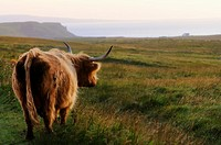 Highland cow. Trotternish peninsula. Isle of Skye. Scotland. Great Britain.
