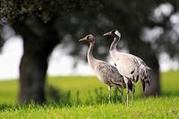 Mature and immature common crane (Grus grus)