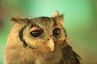 Owl, Zoo park, Malindi, Kenya