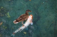 A duck swims atop a fish in a pond