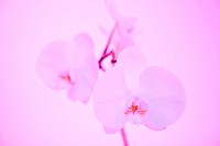 White Orchid in pink Light
