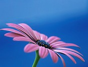 OSTEOSPERMUM - LIGHT PURPLE ´OSJOTIS´ Close-up of a flower in side view