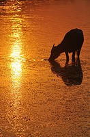 Angkor (Cambodia): water buffalo at sunset