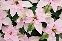 Christmas star Euphorbia pulcherrima ´Princettia Pink´