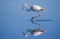 Puna or James's Flamingo Phoenicoparrus jamesi, Phoenicopteridae family, Laguna de Chaxa, Atacama desert, Chile