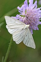 Black-veined moth, Siona lineata hangs under pink scabious flower  From back  Wings are fully open