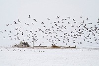 STENNESS ORKNEY Flock of geese in field taking flight cottage snowscape