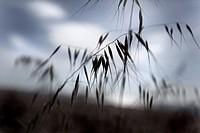 oats, Mediterranean landscape