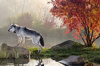 Backlit Gray Wolf standing on rock over water in the mist of early morning with red maple tree