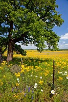 Wildflowers in the meadows of hill country near Mason, Texas, USA
