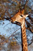 Giraffe Giraffa Camelopardalis  Giraffe chewing a bone to obtain calcium  June 2009, winter  Balule Private Nature Reserve, York section  Greater Krug...