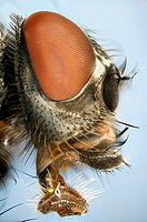 Extreme close up of a house-fly´s head showing mouthparts used for sucking