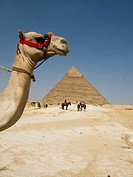 camel in the desert at the Great Pyramids of Giza in Cairo Egypt