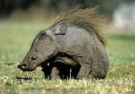 Warthog, lat. Phacochoerus africanus