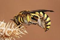 Lavender Bee Anthidium florentinum