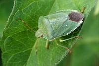 Bugs, Palomena viridissima