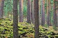 Scots Pines (Pinus Sylvestris). Navafria. Segovia province. Castilla y Leon. Spain