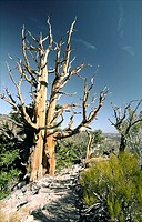Bristlecone pine tree in Inyo National Forest park near Big Pine, California, USA  One of the longest living organisms on Earth