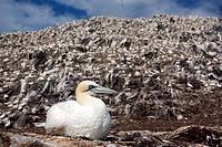 Gannet sitting on its nest on Bass Rock